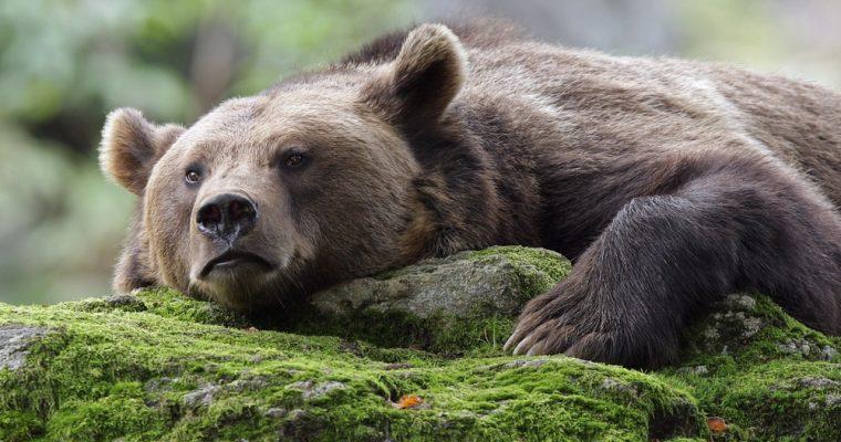 Resting-bear-760x400.jpg